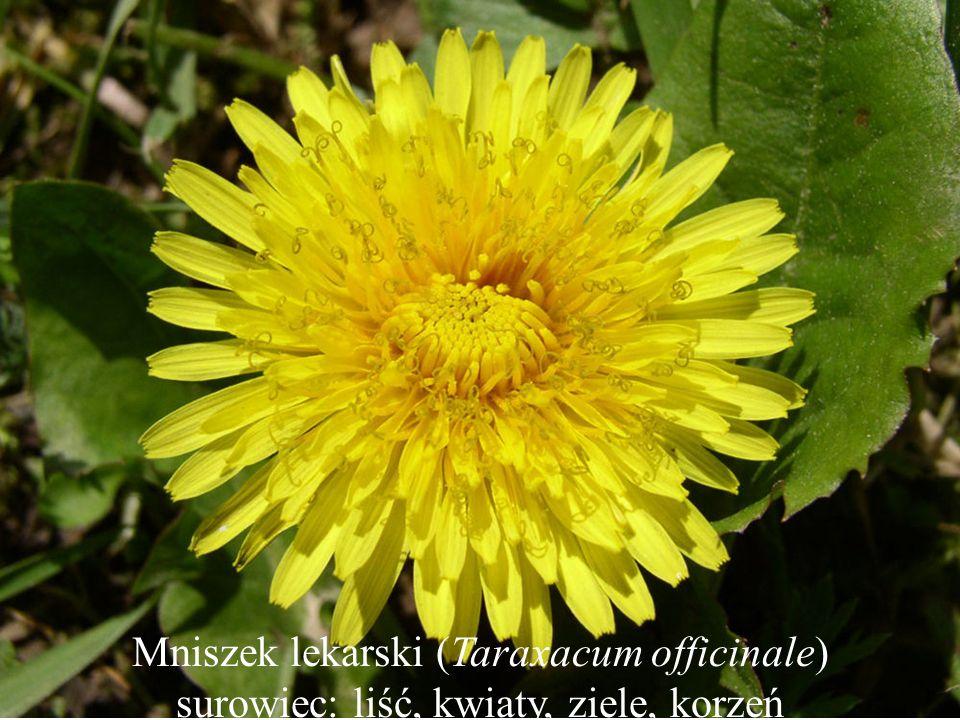 Mniszek lekarski (Taraxacum officinale) surowiec: liść, kwiaty, ziele, korzeń