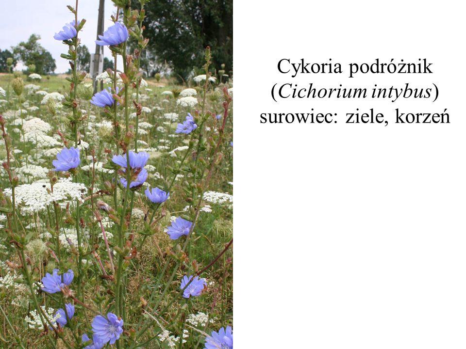 Cykoria podróżnik (Cichorium intybus) surowiec: ziele, korzeń