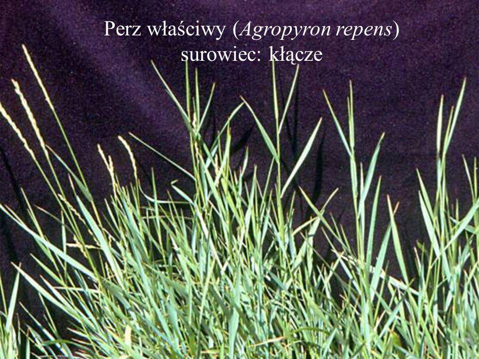 Perz właściwy (Agropyron repens) surowiec: kłącze