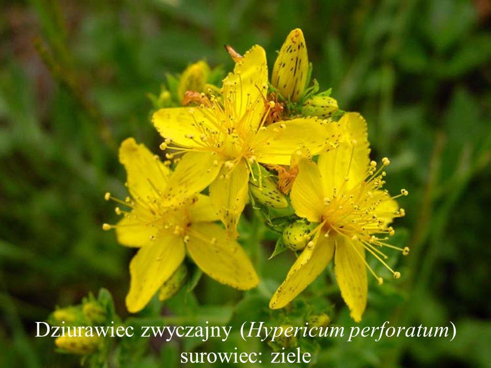 Dziurawiec zwyczajny (Hypericum perforatum) surowiec: ziele