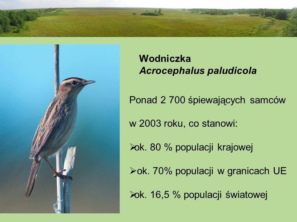 Wodniczka Acrocephalus paludicola