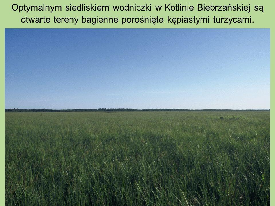 Optymalnym siedliskiem wodniczki w Kotlinie Biebrzańskiej są otwarte tereny bagienne porośnięte kępiastymi turzycami.