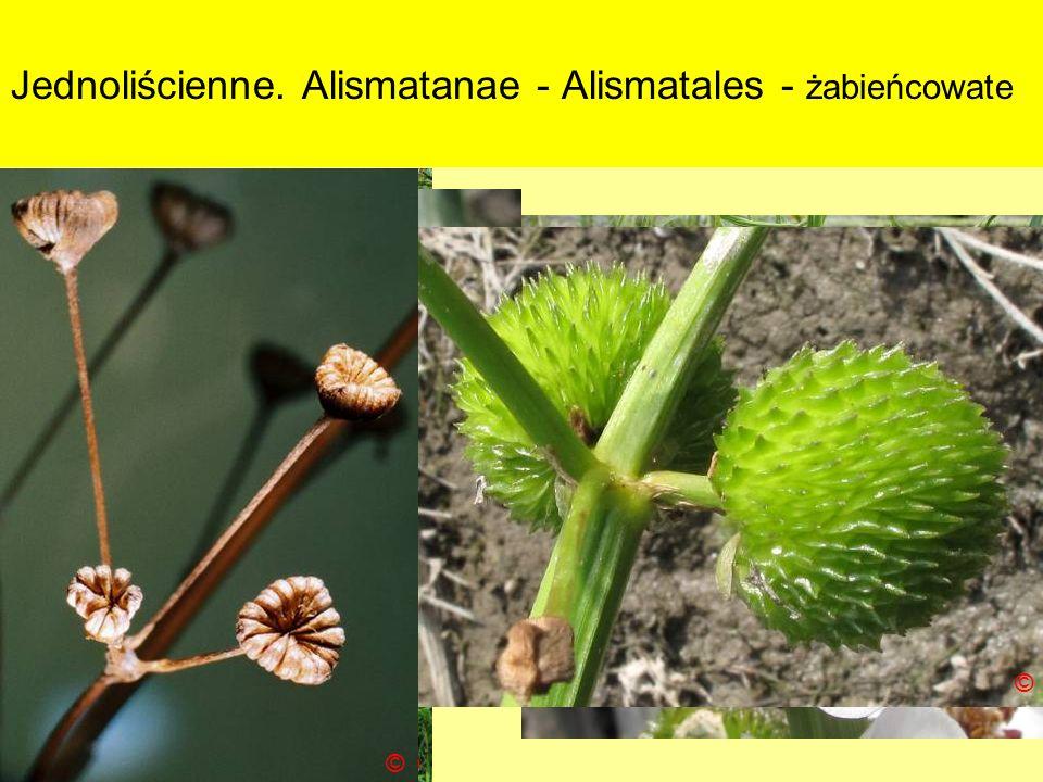 Jednoliścienne. Alismatanae - Alismatales - żabieńcowate