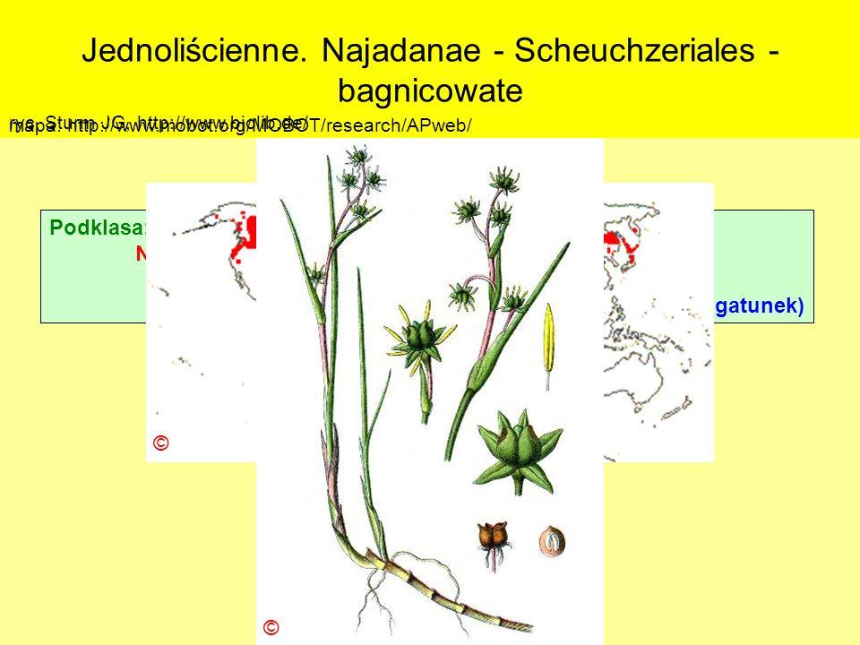 Jednoliścienne. Najadanae - Scheuchzeriales - bagnicowate