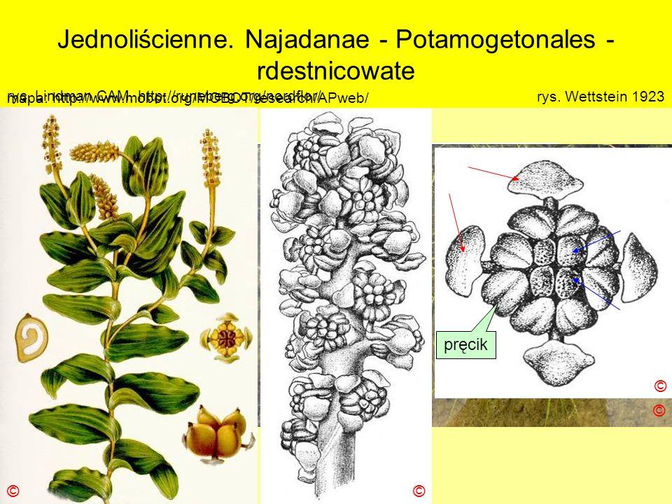 Jednoliścienne. Najadanae - Potamogetonales - rdestnicowate