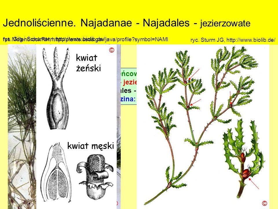 Jednoliścienne. Najadanae - Najadales - jezierzowate