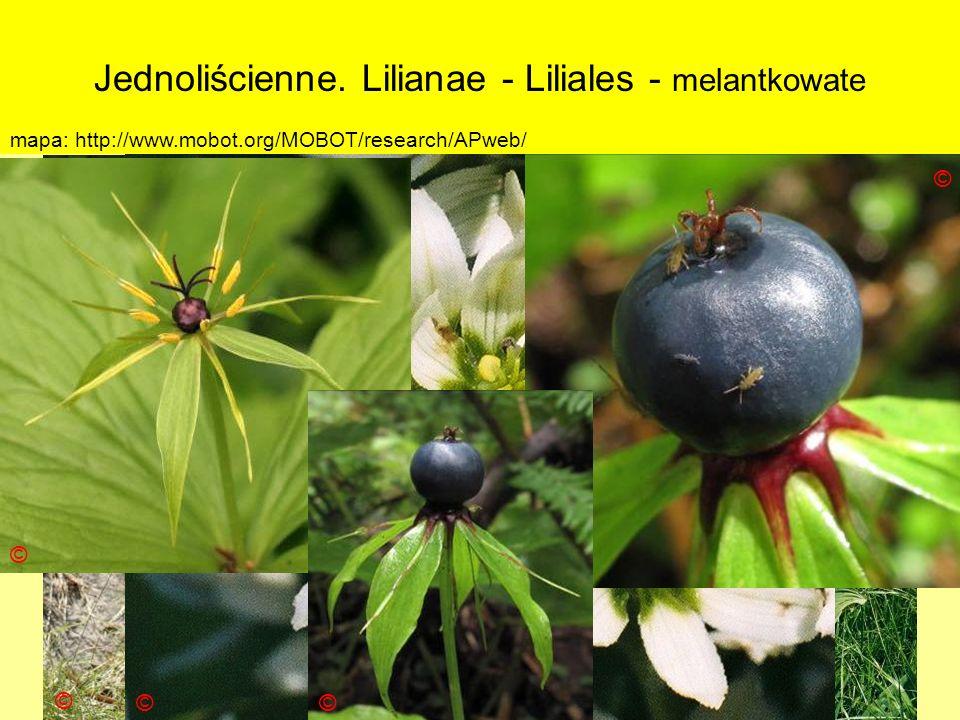 Jednoliścienne. Lilianae - Liliales - melantkowate