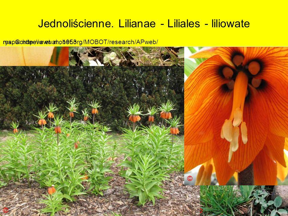 Jednoliścienne. Lilianae - Liliales - liliowate