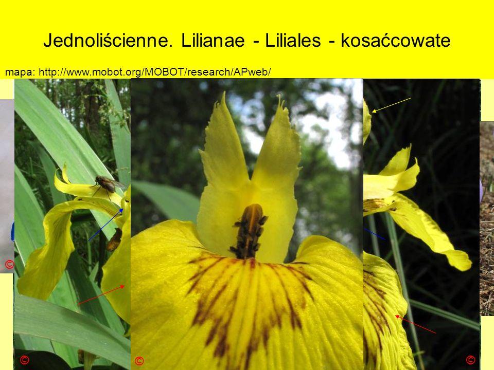 Jednoliścienne. Lilianae - Liliales - kosaćcowate