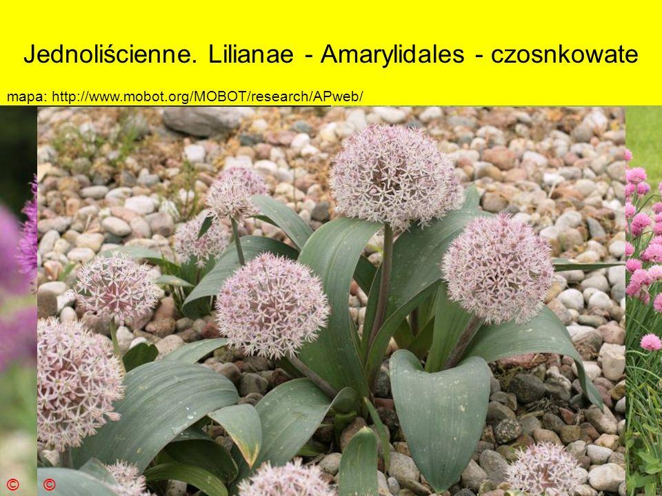 Jednoliścienne. Lilianae - Amarylidales - czosnkowate
