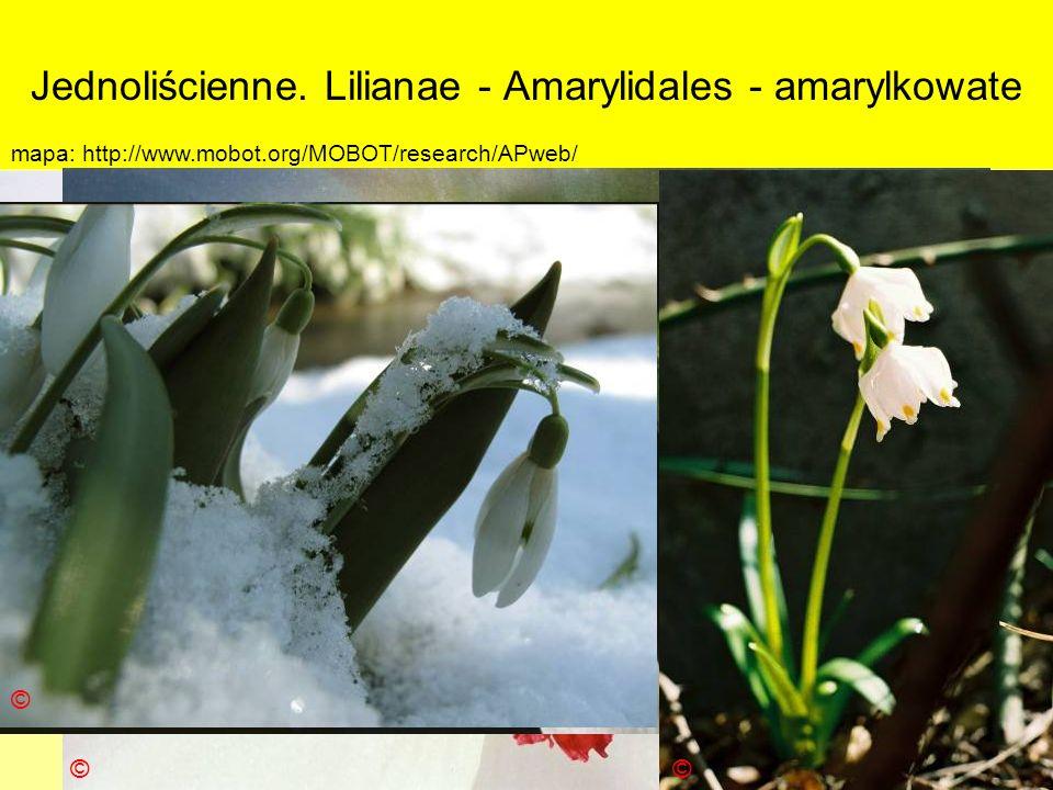 Jednoliścienne. Lilianae - Amarylidales - amarylkowate