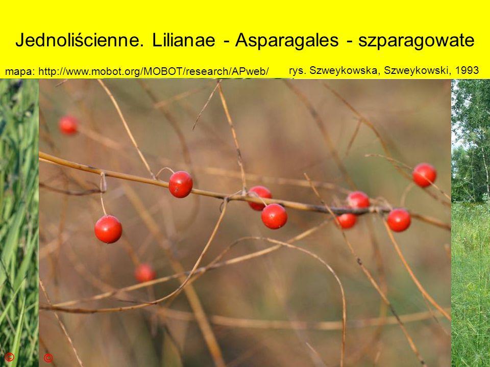 Jednoliścienne. Lilianae - Asparagales - szparagowate
