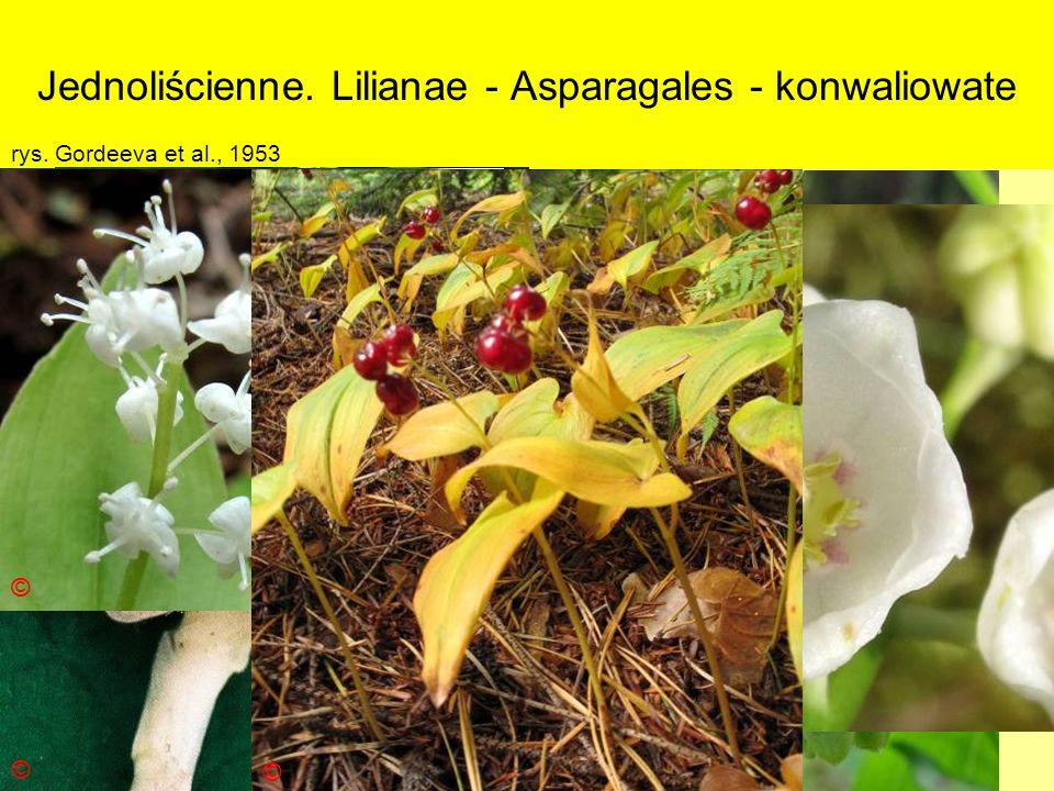 Jednoliścienne. Lilianae - Asparagales - konwaliowate
