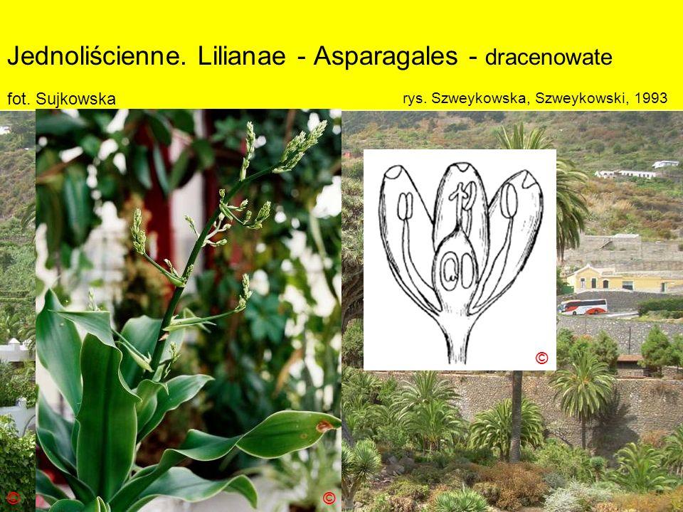 Jednoliścienne. Lilianae - Asparagales - dracenowate