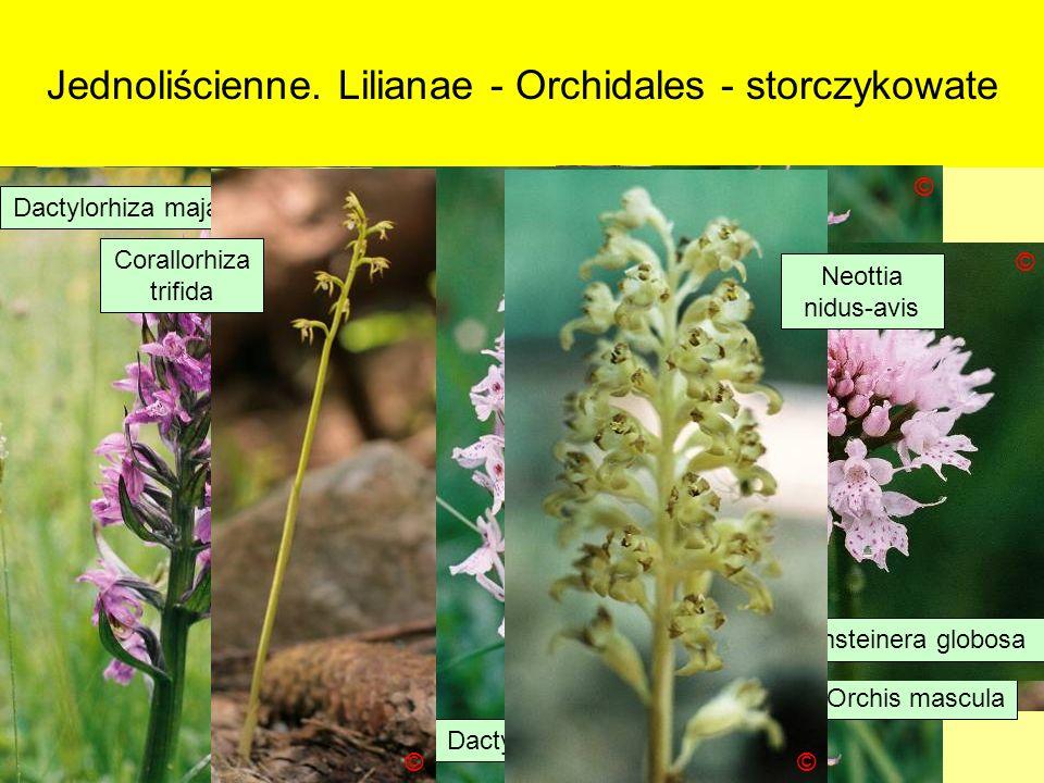 Jednoliścienne. Lilianae - Orchidales - storczykowate