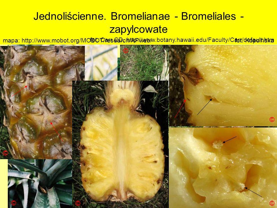 Jednoliścienne. Bromelianae - Bromeliales - zapylcowate