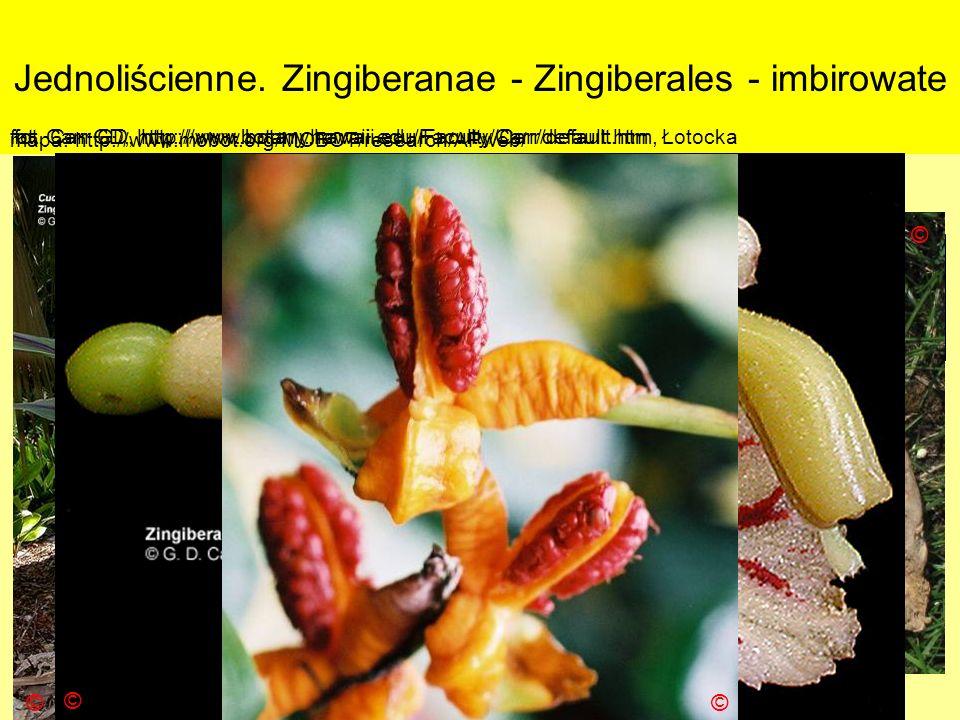 Jednoliścienne. Zingiberanae - Zingiberales - imbirowate