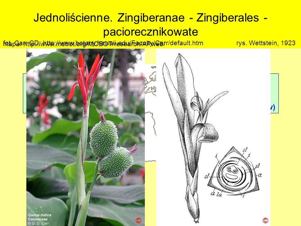 Jednoliścienne. Zingiberanae - Zingiberales - paciorecznikowate