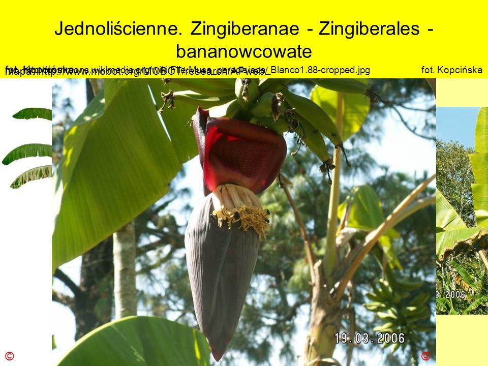 Jednoliścienne. Zingiberanae - Zingiberales - bananowcowate