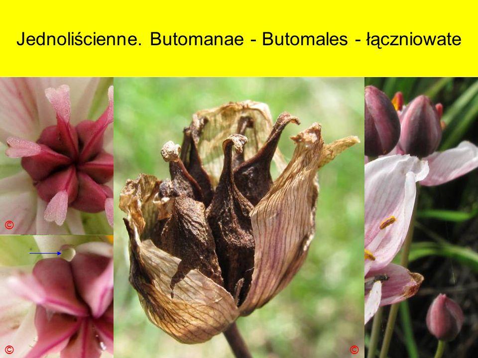 Jednoliścienne. Butomanae - Butomales - łączniowate