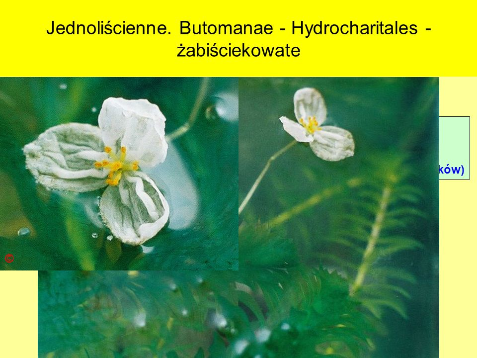 Jednoliścienne. Butomanae - Hydrocharitales - żabiściekowate