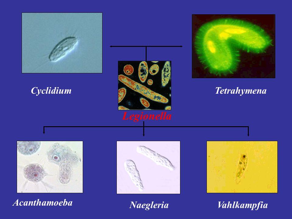 Cyclidium Tetrahymena Legionella Acanthamoeba Naegleria Vahlkampfia