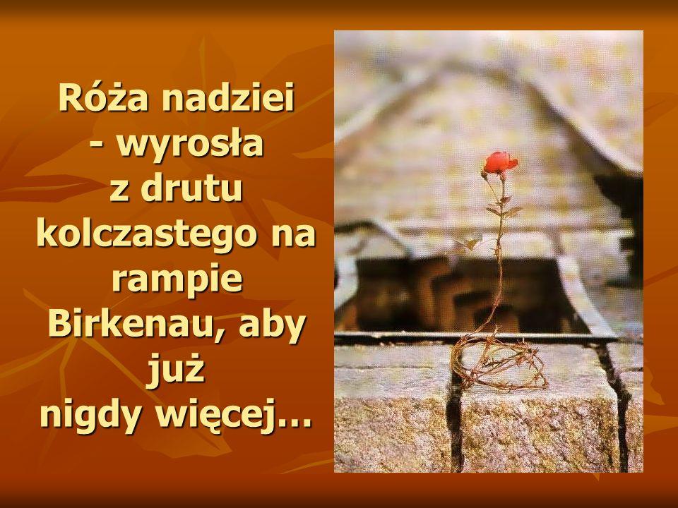 Róża nadziei - wyrosła z drutu kolczastego na rampie Birkenau, aby już nigdy więcej…