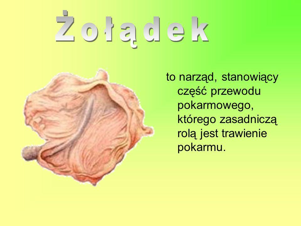 Żołądek to narząd, stanowiący część przewodu pokarmowego, którego zasadniczą rolą jest trawienie pokarmu.
