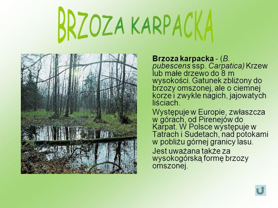 BRZOZA KARPACKA