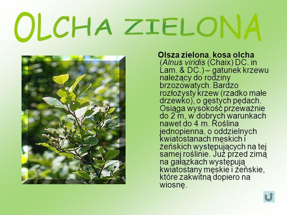 OLCHA ZIELONA