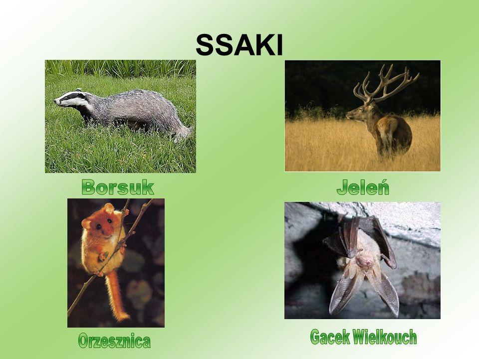 SSAKI Borsuk Jeleń Gacek Wielkouch Orzesznica