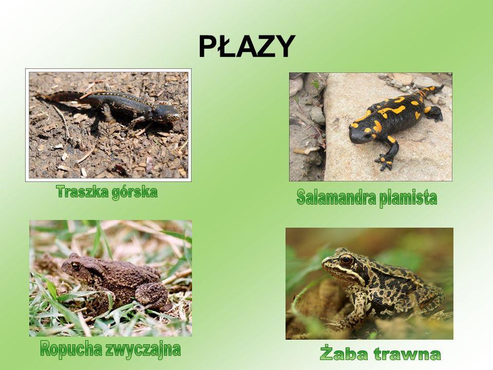 PŁAZY Traszka górska Salamandra plamista Ropucha zwyczajna Żaba trawna