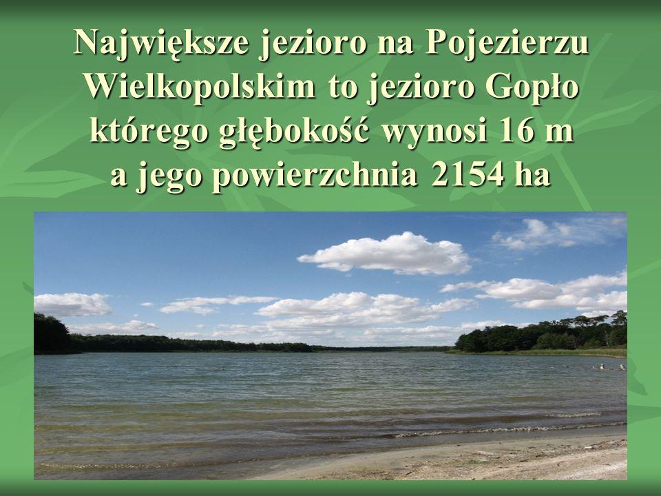 Największe jezioro na Pojezierzu Wielkopolskim to jezioro Gopło którego głębokość wynosi 16 m a jego powierzchnia 2154 ha