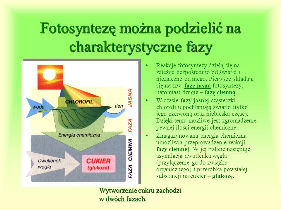Fotosyntezę można podzielić na charakterystyczne fazy