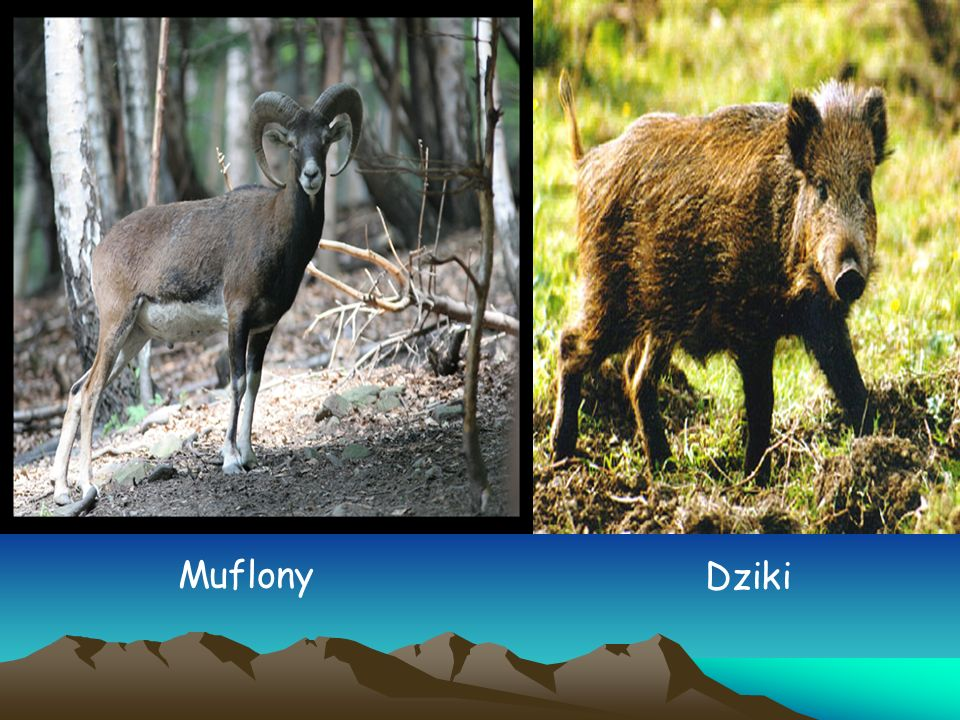 Muflony Dziki