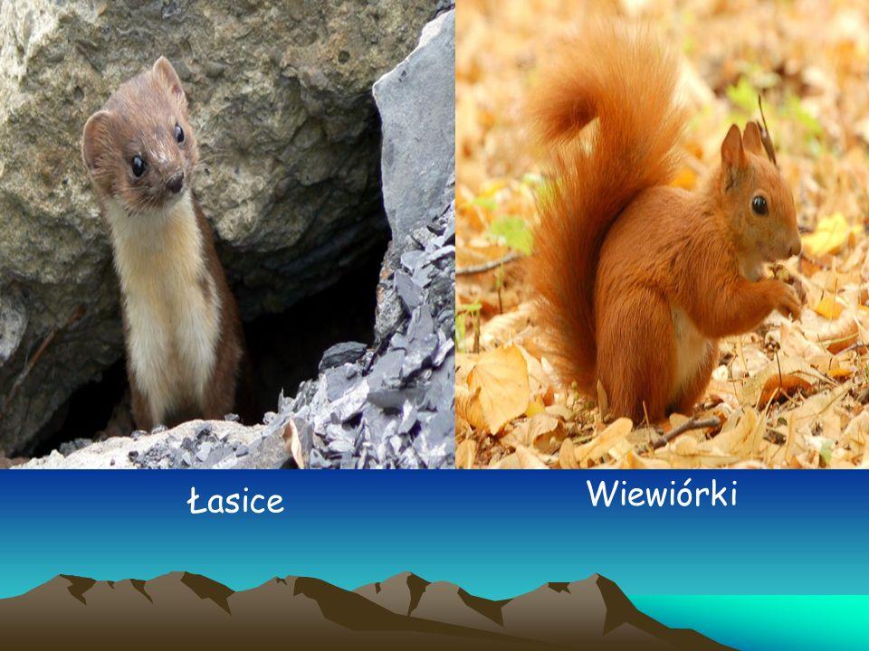 Wiewiórki Łasice