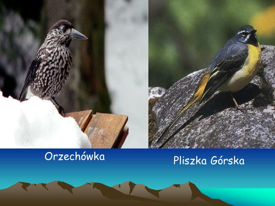 Orzechówka Pliszka Górska