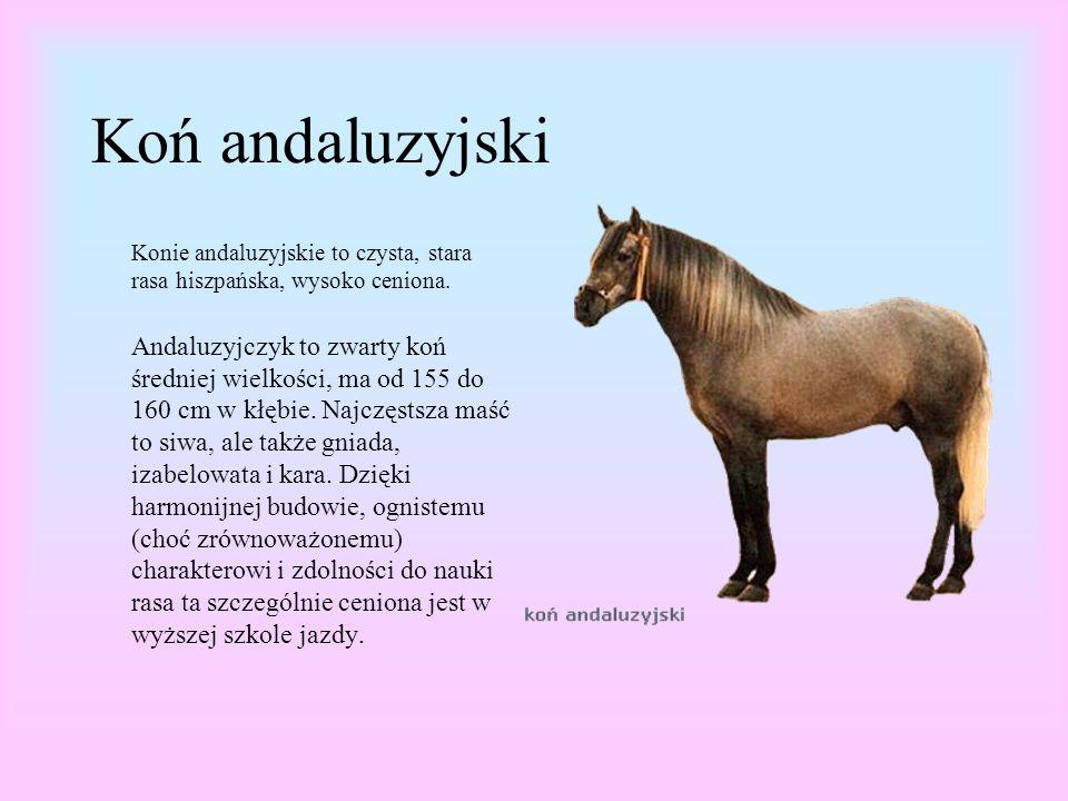 Koń andaluzyjski Konie andaluzyjskie to czysta, stara rasa hiszpańska, wysoko ceniona.