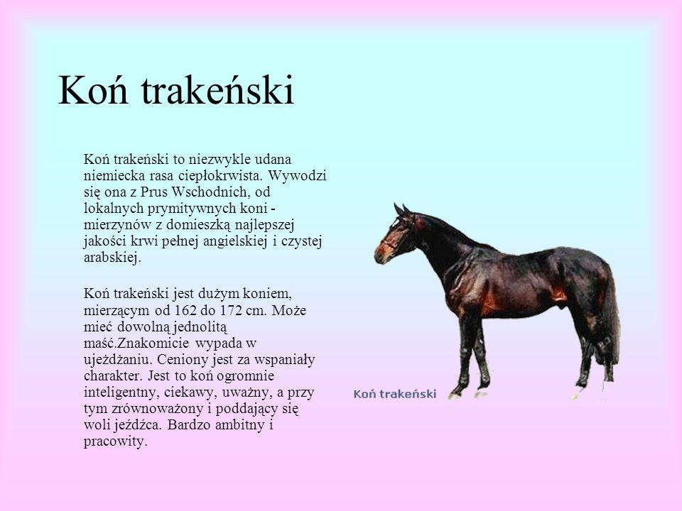 Koń trakeński