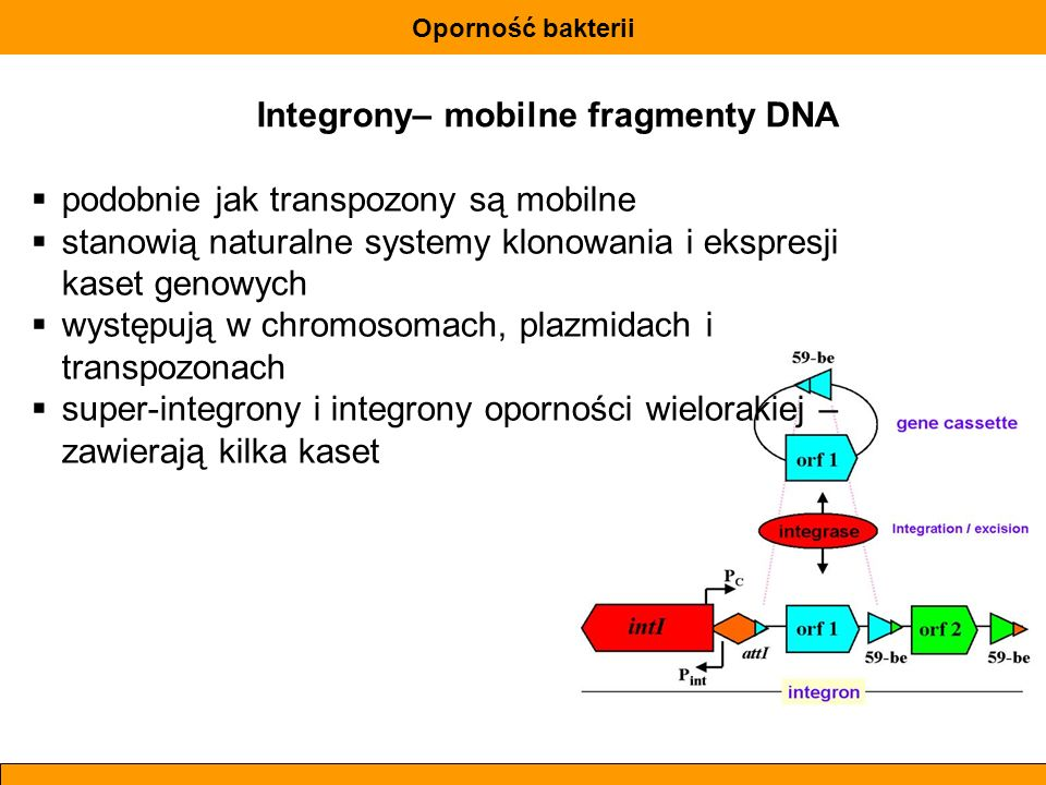 Integrony– mobilne fragmenty DNA