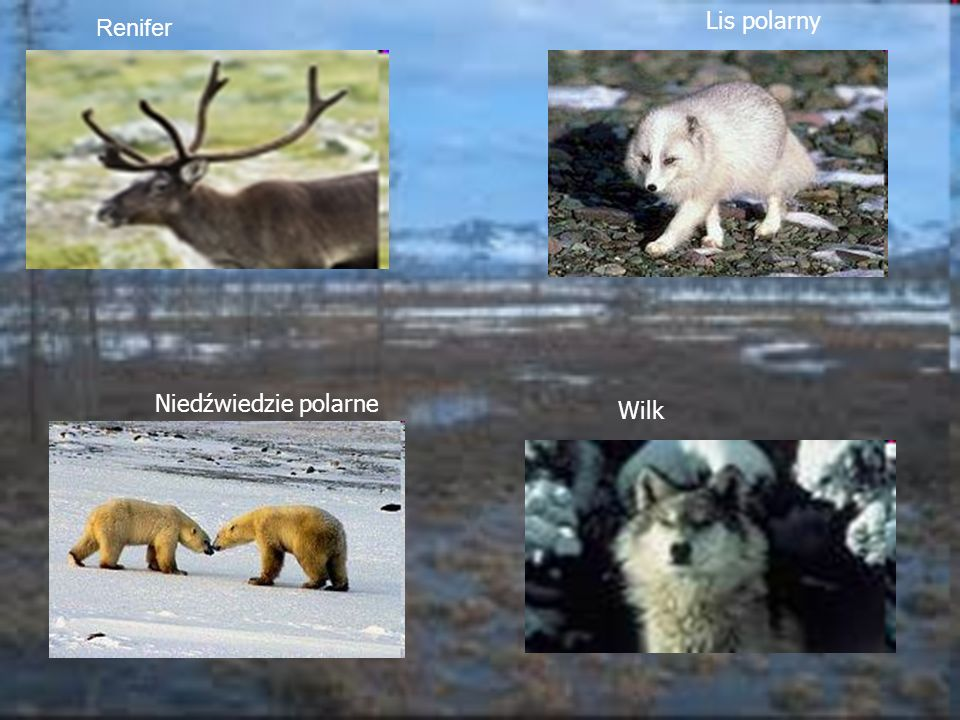 Renifer Lis polarny. Niedźwiedzie polarne.