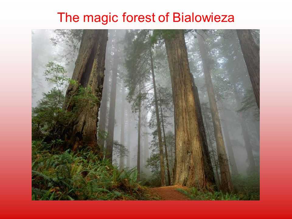 The magic forest of Bialowieza