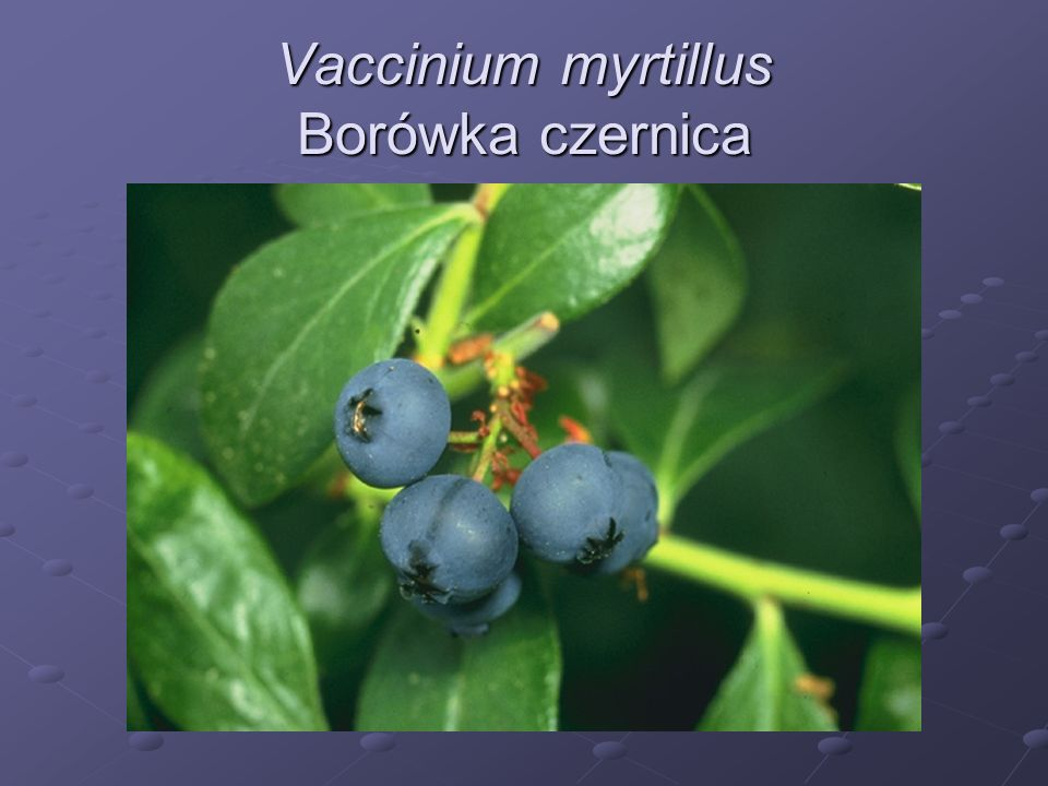 Vaccinium myrtillus Borówka czernica