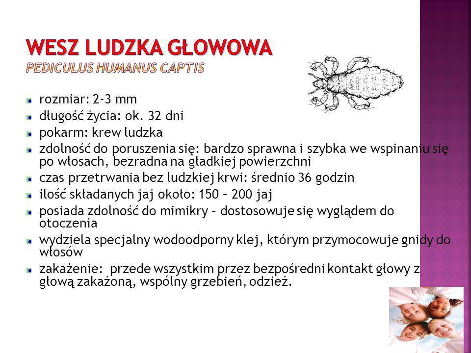 WESZ LUDZKA GŁOWOWA Pediculus humanus captis