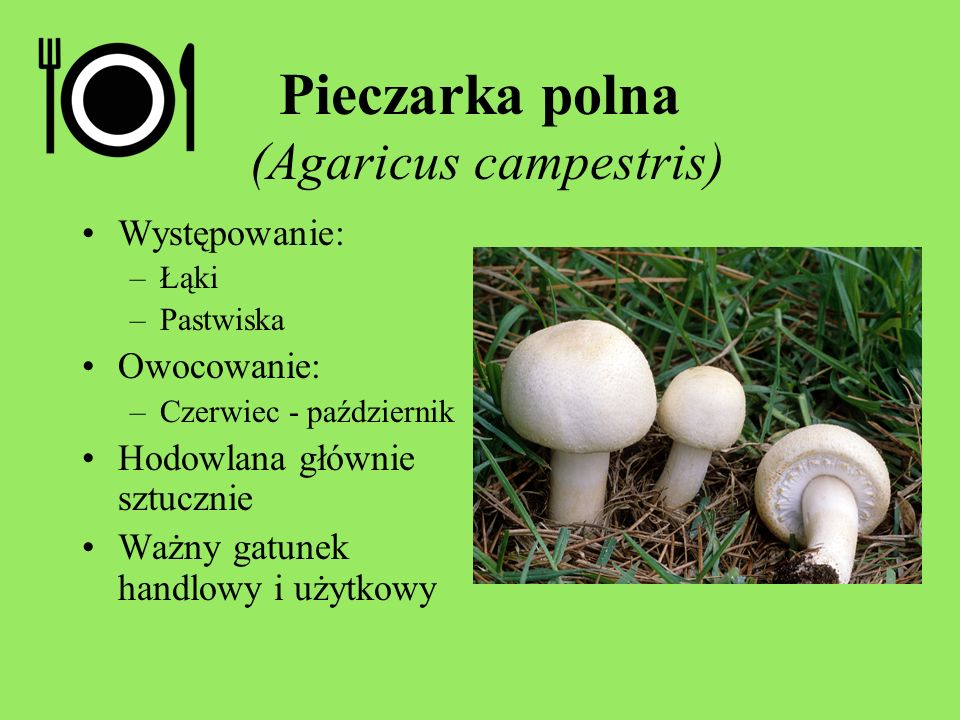 Pieczarka polna (Agaricus campestris)