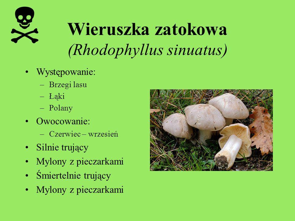 Wieruszka zatokowa (Rhodophyllus sinuatus)
