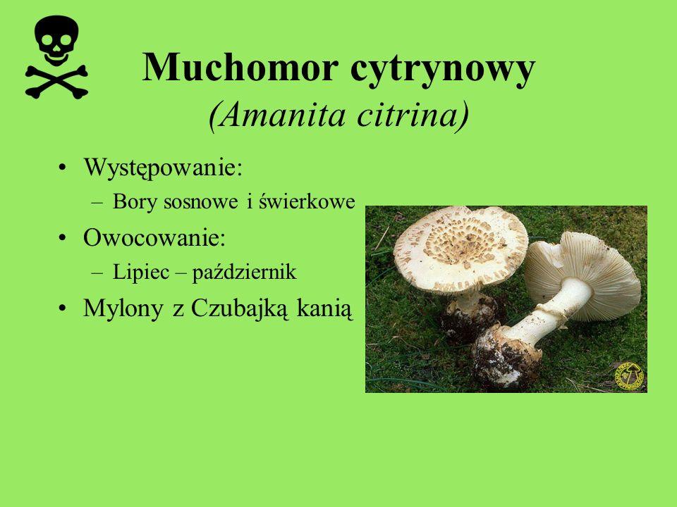 Muchomor cytrynowy (Amanita citrina)