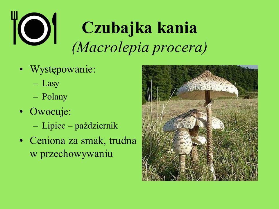 Czubajka kania (Macrolepia procera)
