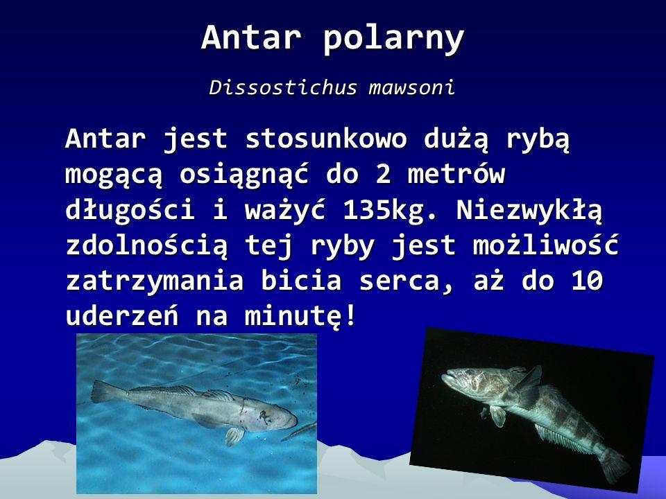 Antar polarny Dissostichus mawsoni
