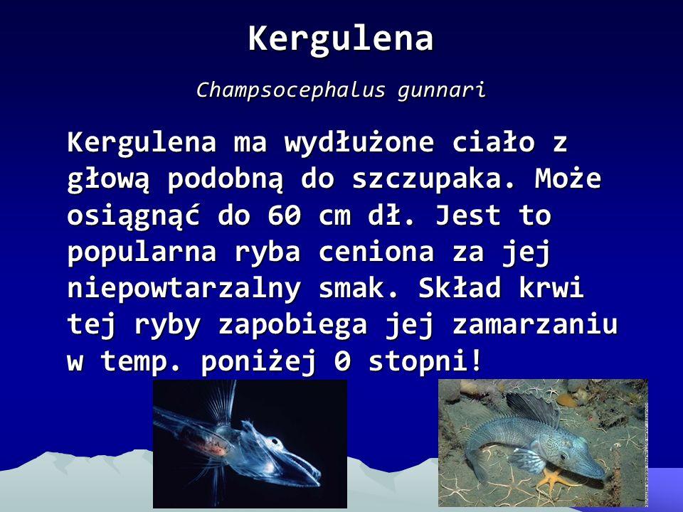 Kergulena Champsocephalus gunnari